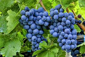 Kisti vinograda