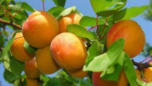 abrikos-plodovoe-derevo
